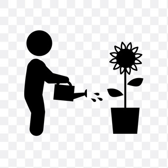 Watering of sunflower